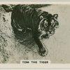 Tom the tiger.