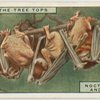 Noctule bats and young
