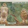 Sparrow-hawks. Female. Male