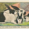 Dutch and Old English Rabbits.