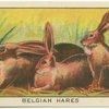 Belgian Hares.