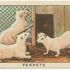 Ferrets.