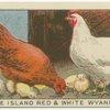 RHode Island Red and White Wyandotte.