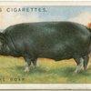 Berkshire boar.