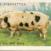 Gloucester Old Spot boar.