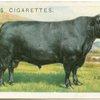 Aberdeen Angus bull.