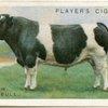 British Friesian bull.