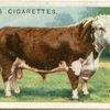 Hereford bull.