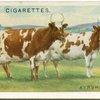 Ayrshire cows.