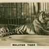 Malayan Tiger.