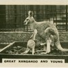 Great Kangaroo and Young.