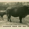 European Bison and Calf.