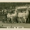 Llamas in Cart.