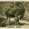 Barbary Sheep.