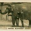 Indian Elephant.