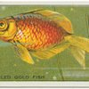 Fan-Tailed Gold Fish.