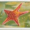 Star-Fish.