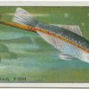 Sword-Tail Fish.