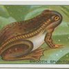 Smooth Spur-Toed Frog