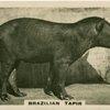 Brazilian Tapir.