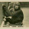 """Gorilla """" John Daniel""""."""