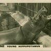 Young Hippopotamus.