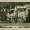 Llamas in Cart.