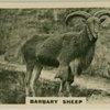 Barbary Sheep.