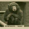 """Chimpanzee """"Daisy""""."""