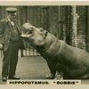 "Hippopotamus "" Bobbie""."