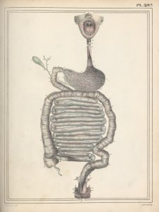 [Digestive tract] Digital ID: 1944676. New York Public Library