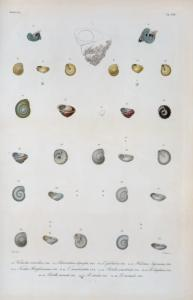 Vermetus corrodesn; Odontostoma depressa; Odontostomaglobulosa; Hlicina sagraiana; Trochus Hotessierrianus; Trochus canalicatatus; Rotella semistriata; Rotella diaphana; Rotella carinata; Rotella striata; Rotella anomala