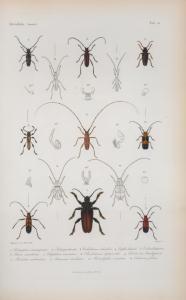 Solenoptera cinnamipennis; Solenopt. leneata; Callichroma columbina; Eriphus lanieri; Eriphus dimidiatipenne; Eburia consorbrina; Elaphidion irroratum; Poeciloderma lepturoides; Odontocera brachyptera; Probatius umbratius; Aminiscus dealbatus; Hemilophus venustus; Eurhuorus filum.