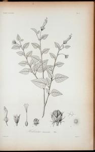 Hibiscus truncatus.