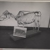 Skeleton of beef cow developed at the experimental farm of the U.S.D.A. Prince Georges County. Beltsville, Maryland.]