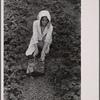 Migrant strawberry picker, Berrien County, Michigan.
