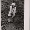 Migrant strawberry picker, Berrien County, Michigan.