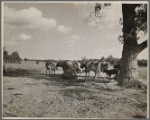 Cows. Beltsville, Marylan