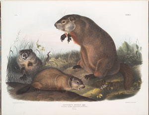 Arctomys monax, Maryland Marmot, Woodchuck, Groundhog. Natural size. Old & young.