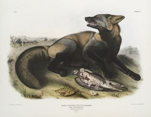 Canis (Vulpes) Fulvus, American Cross-Fox. 7/8 Natural size. Male.