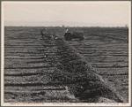 Checking for alfalfa. California. 1935