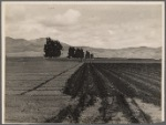 Sugar beet field showing tractor with plowshare attached and Mexican operator. California