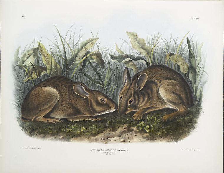 Lepus palustris,  Marsh Hare. Natural size.
