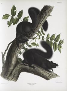 Sciurus niger, Black Squirrel. Natural size. 1. Male, 2. Female.
