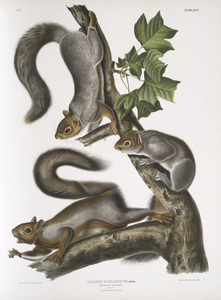 Sciurus migratorius, Migratory Squirrel. Natural size. 1. Old Male, 2. Female, 3. Young.