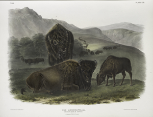 Bos Americanus, American Bison. 1/8 Natural size. 1. Female, 2. Young, 3. Male.