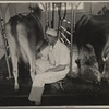 Automatic milking. Prince Georges County. Beltsville, Maryland.
