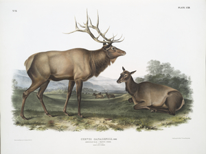 Cervus Canadensis, American Elk, Wapiti Deer. 1/7 Natural size. Male and Female.