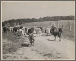 Cows, Prince Georges County, Maryland.