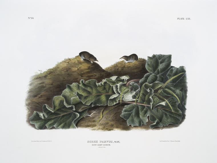 Sorex parvus, Say's Least Shrew. Natural size.